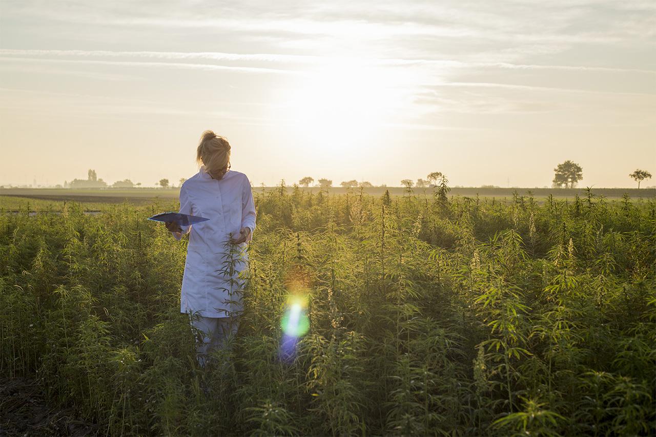 organic hemp field - c4 healthlabs