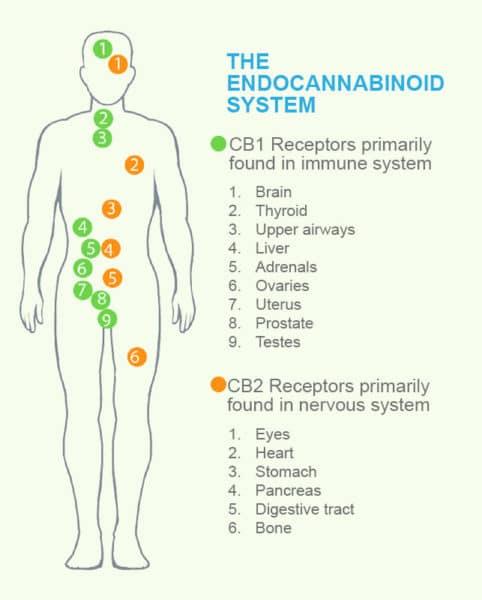 Endocannabinoid System diagram by C4 Healthlabs